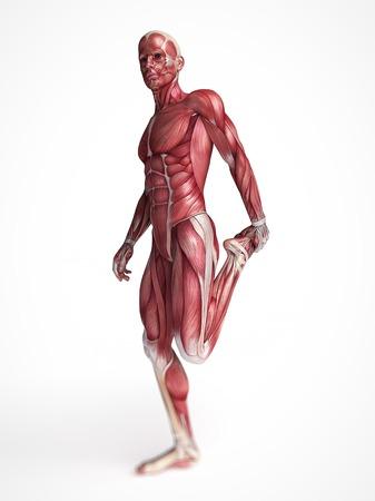 Human muscular system, computer artwork