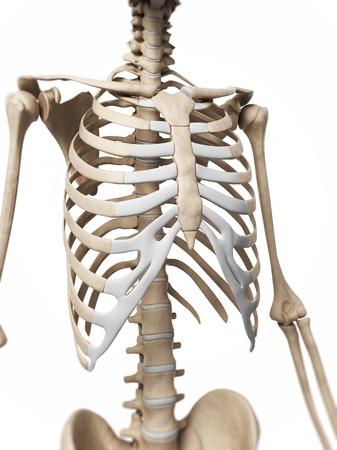 ribcage: Human ribcage, computer artwork