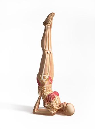 Female musculoskeletal system, artwork