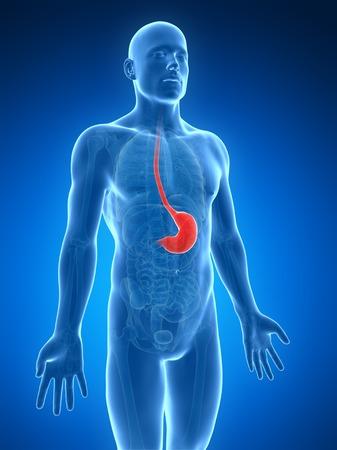 Human stomach, illustration LANG_EVOIMAGES