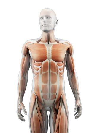 Human muscular system, illustration LANG_EVOIMAGES