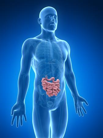 Male intestine, computer artwork LANG_EVOIMAGES