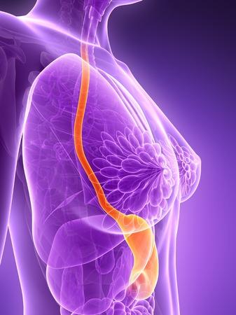 Anatomy of female food pipe, illustration