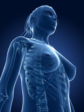 ribcage: Female ribcage, computer artwork