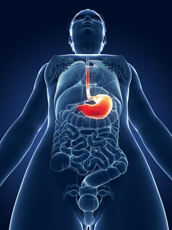 Female stomach, illustration