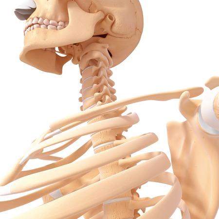 Human neck bones, computer artwork