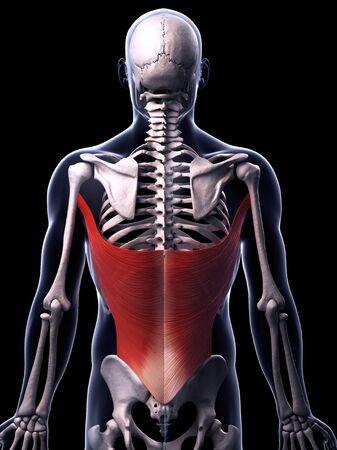 Human back muscles, computer artwork