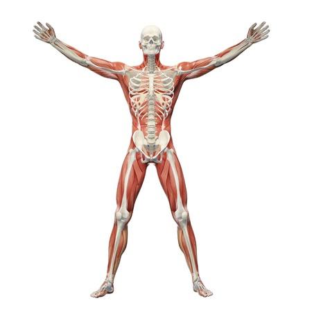 Sistema Musculoesquelético Humano, Ilustraciones De Computadora ...