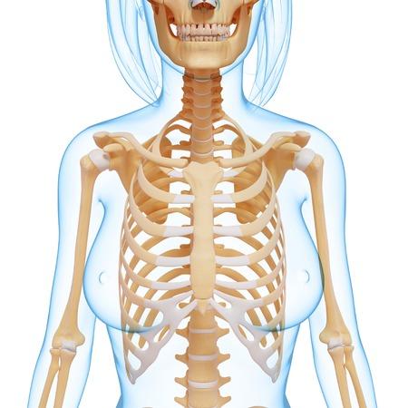 thorax: Female skeletal system, computer artwork