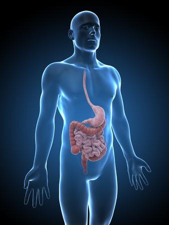 esofago: Human digestive system, illustration LANG_EVOIMAGES
