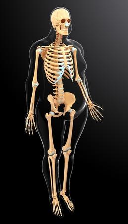 Human skeletal system, computer artwork