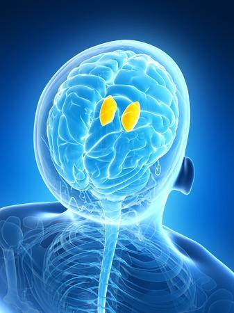 thalamus: Human brain, illustration LANG_EVOIMAGES