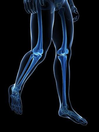 Human leg bones, illustration