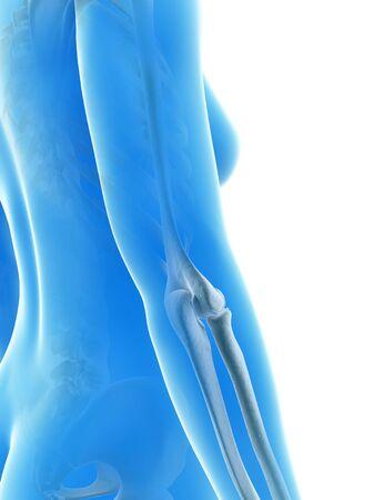 skeletal system: Human elbow joint, illustration