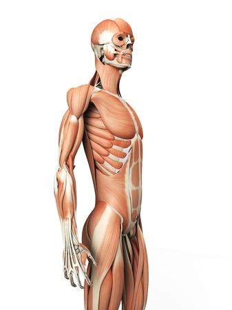 Sistema Muscular Humano, Ilustración Fotos, Retratos, Imágenes Y ...
