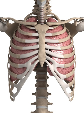 ribcage: Human lungs with ribcage, illustration LANG_EVOIMAGES