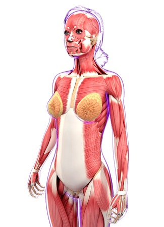 Female Muscular System Computer Artwork Stock Photo Picture And
