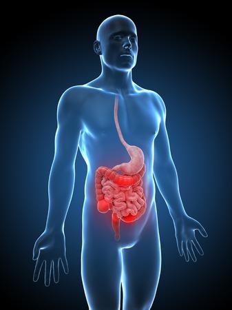 Human digestive system, computer artwork