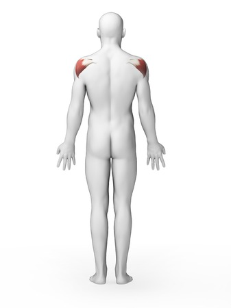Human shoulder muscles, illustration