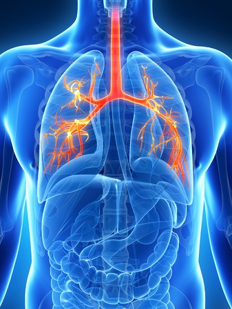 bronchioles: Human lungs, illustration