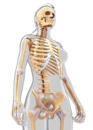 skeletal system: Human skeletal system, computer artwork