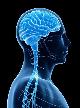 Human brain, illustration LANG_EVOIMAGES