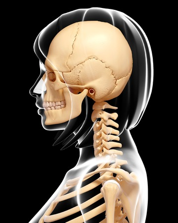 Human Skull And Neck Bones, Computer Artwork Stock Photo, Picture ...