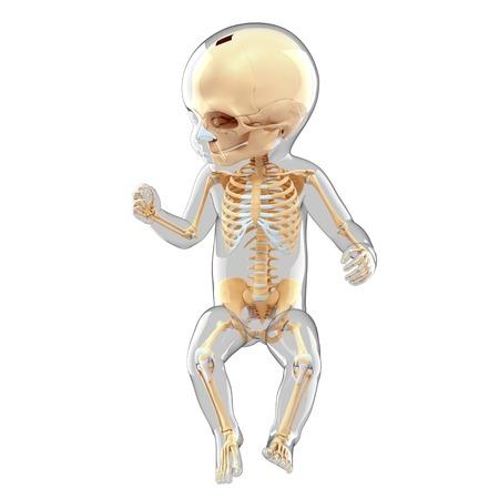 Babys skeletal system, computer artwork
