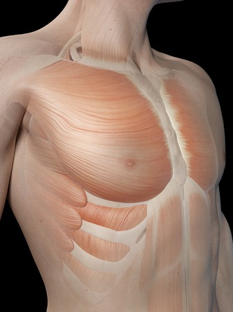 pectoralis: Human chest muscles, illustration