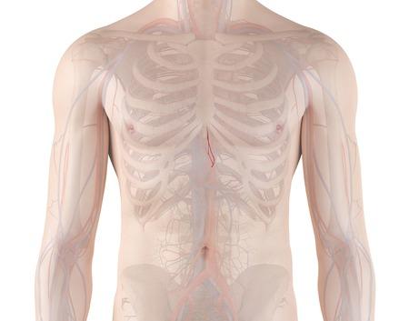 esophageal: Human esophageal arteries, illustration