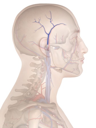 Human veins, illustration LANG_EVOIMAGES