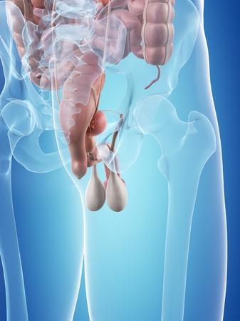 testes: Male reproductive system, illustration LANG_EVOIMAGES