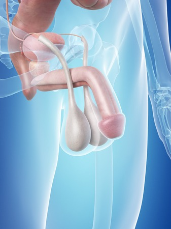 testes: Male penis anatomy, illustration