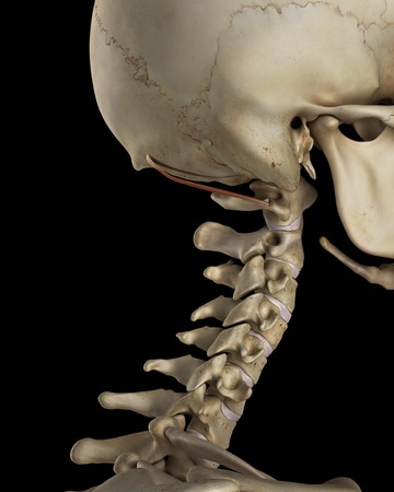 Human Neck Bones And Muscle, Illustration Stock Photo, Picture And ...