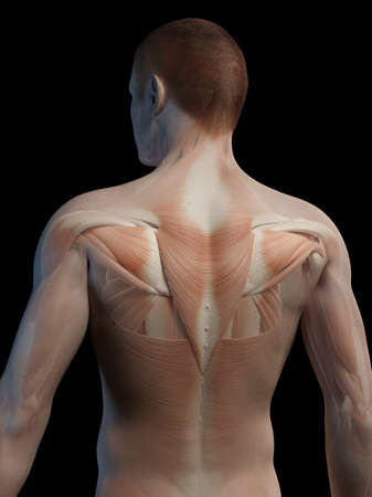trapezius: Human back muscles, illustration LANG_EVOIMAGES