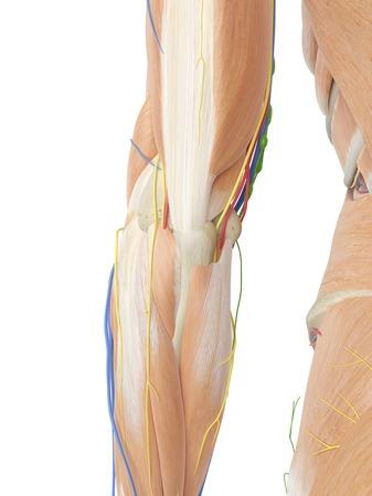 Anatomía Del Brazo Humano, Ilustración Fotos, Retratos, Imágenes Y ...