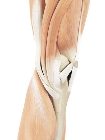 Músculos Humanos De Rodilla, Ilustración Fotos, Retratos, Imágenes Y ...