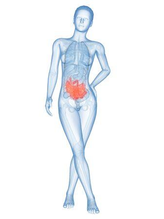 small intestine: Human intestine, illustration
