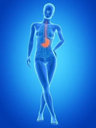 esofago: Estómago humano, ilustración