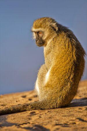 Grivet monkey (Chlorocebus aethiops)