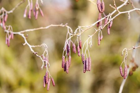 alder tree: Catkins on an alder tree LANG_EVOIMAGES