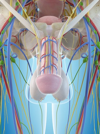 testicles: Male penis anatomy, illustration