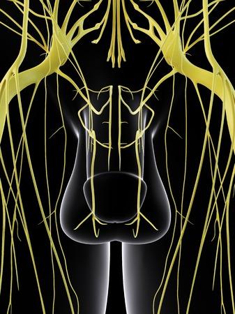 Sistema nervioso masculino, ilustración