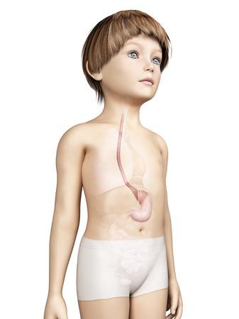 esofago: Estómago, niño, Ilustración