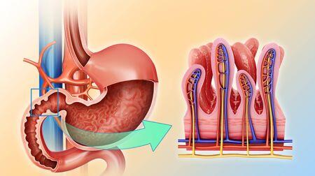 small intestine: Small intestine and stomach