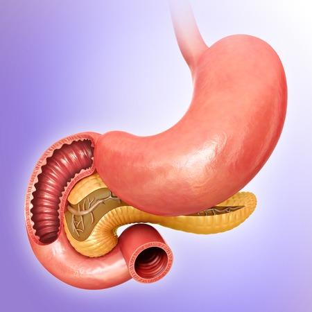small intestine: Small intestine and pancreas