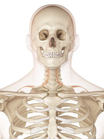 Human Neck Bones And Muscle Illustration Stock Photo Picture And