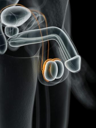 testes: Male penis, illustration