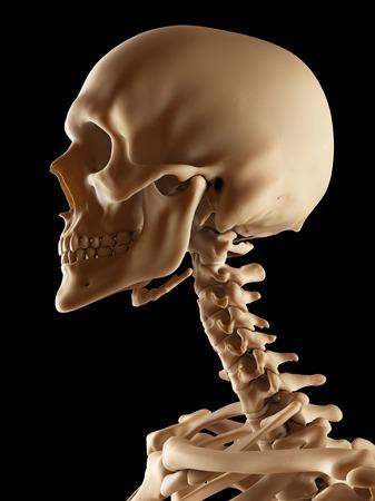 Human skull and neck bones, illustration