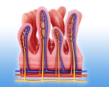 Small intestine wall
